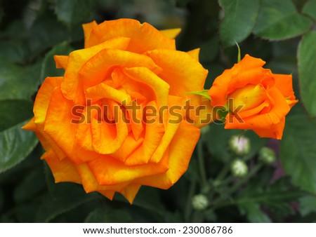 Closeup of beautiful roses in New Farm Park, Queensland, Australia  - stock photo