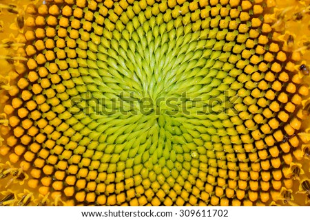Closeup of beautiful warm sunflower for background texture - stock photo