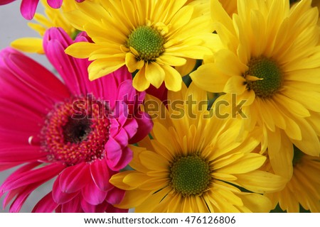 Closeup of beautiful yellow and pink daisy gerber flowers
