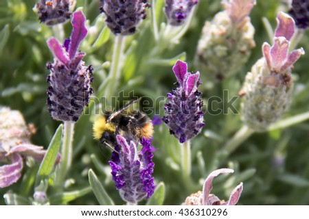 closeup of bee on lavender flowers in garden in summer - stock photo