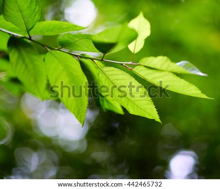 Closeup of beech leaves with selective focus and copyspace
