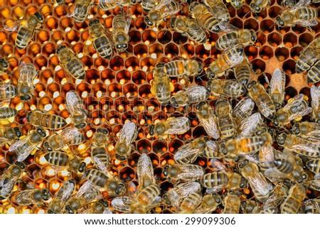 Closeup of bees on honeycomb - stock photo