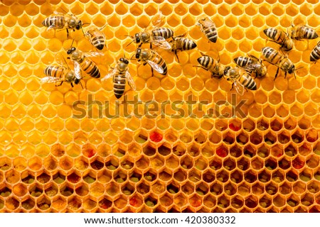 closeup of bees on honeycomb in apiary - selective focus, copy space - stock photo