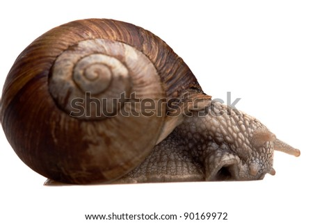 closeup of big creeping snail isolated on white - stock photo