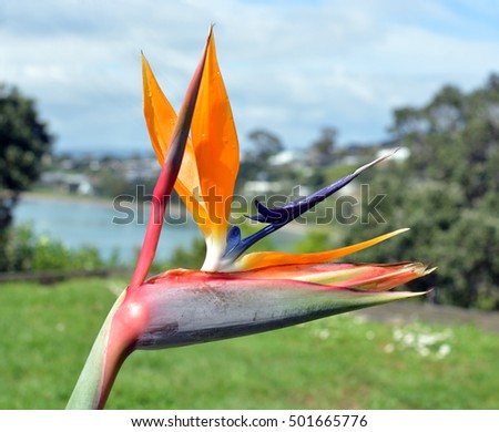 Closeup of Bird of Paradise Flower in Spring at Oneroa Bay, Waiheke Island, Auckland, New Zealand.