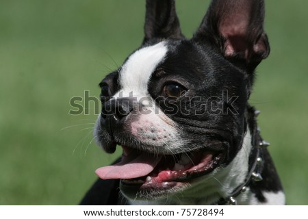 closeup of black and white Boston Terrier Dog looking to the side with tongue out panting - stock photo
