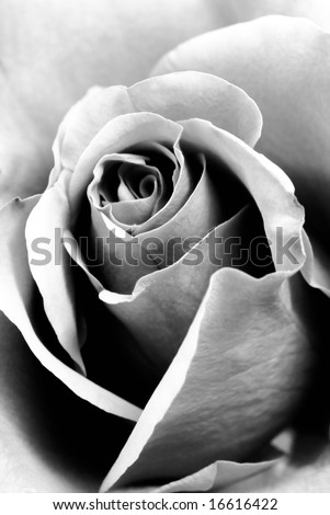 Closeup of black and white rose as background - stock photo