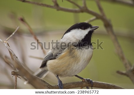 Closeup of black capped chickadee while  perched  on branch during winter season while looking a bit puzzled.  - stock photo