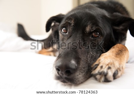 Closeup of Black Shepherd Mix Face in Bed - stock photo