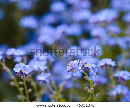 Closeup of blue forget-me-not flowers in a garden - stock photo