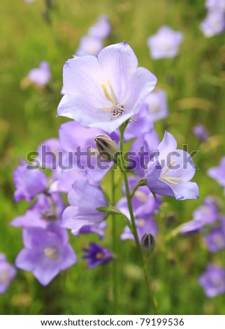 Closeup of bluebell flowers on summer meadow , shallow DOF, focus on the foreground - stock photo