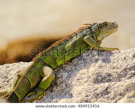 Closeup of Bright Green Iguana (Iguana iguana) sunning on rocks in Key West, Florida.
