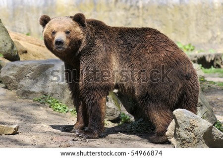Closeup of brown bear (Ursus arctos) among rocks