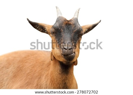 closeup of brown goat looking at the camera, isolation over white background