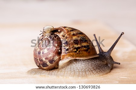 Closeup of brown Grapevine Snail Cornu Aspersum carrying a small snail on her back - stock photo