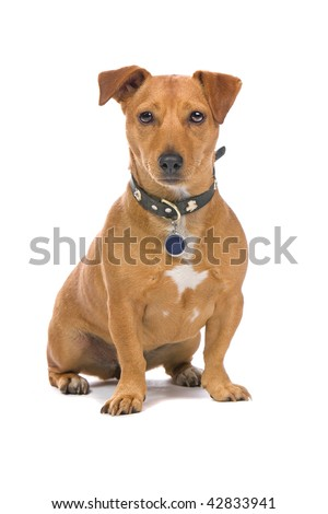 Closeup of brown Jack Russel Terrier dog isolated on white background