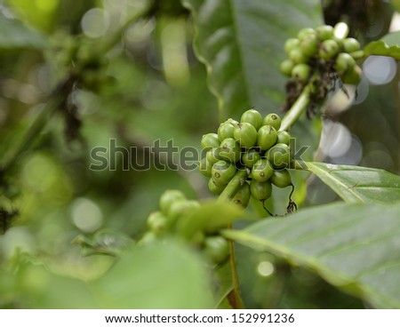 closeup of bunch of unripe green coffee plants growing on a tree - stock photo