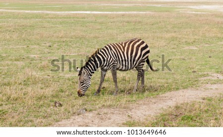 Closeup of Burchell's Zebra (scientific name: Equus burchelli)  in the  Ngorogoro National park, Tanzania