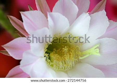 Closeup of Cactus Flower (Echinopsis eyriesii) - stock photo