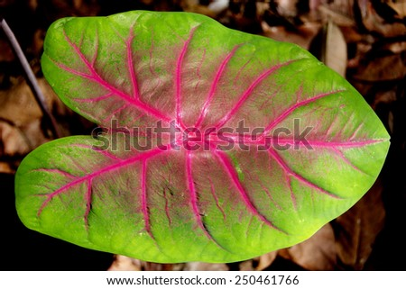 Closeup of Caladium Bicolor while in a Sunny Spot in a Dense Forest - stock photo
