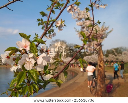 Closeup of cherry blossoms on trees at the Tidal Basin in Washington D.C. with the Jefferson Memorial and tourists in the background. - stock photo