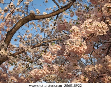 Closeup of cherry blossoms on trees on a spring day with blue sky background. - stock photo