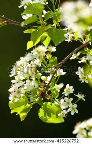 Closeup of Cherry Flower at Blossom in Spring - stock photo