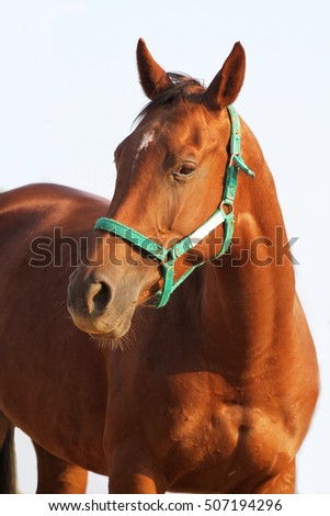 Closeup of chestnut colored horse shows head and shoulders against white studio background