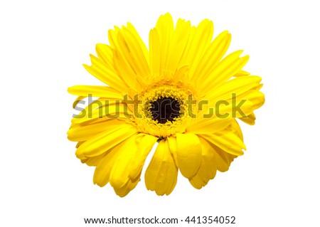 Closeup of chrysanthemum flower on a white background /Chrysanthemum flower - stock photo