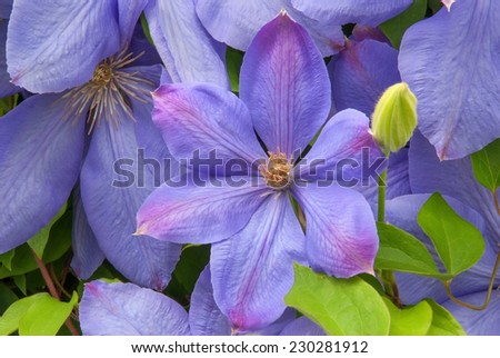 Closeup of clematis blooms. - stock photo