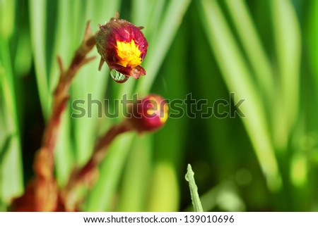 closeup of closed  yellow flower head with water drop - stock photo