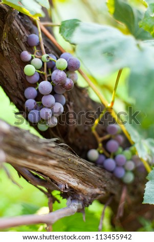 Closeup of clusters of ripe purple grapes on a vine - stock photo