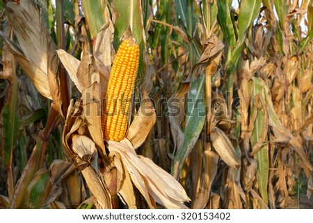 Closeup of corn cob in late summer ready for harvest with copy space - stock photo