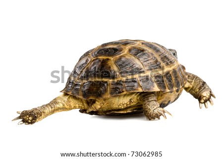 closeup of crawling turtle isolated on white