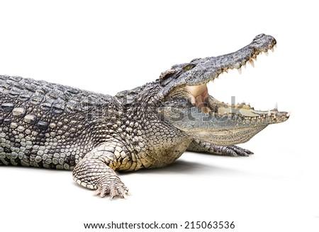 Closeup of crocodile isolated on white background - stock photo