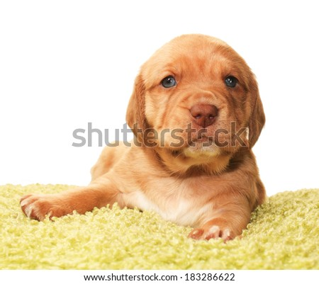 Closeup of cute one month old puppy isolated on white - stock photo