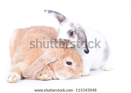 Closeup of  cute two holland lop rabbit  take care of each  other on  white background, Love concepts