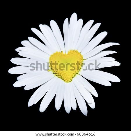 closeup of daisy with heart over black - stock photo