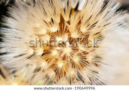 Closeup of dandelion - stock photo