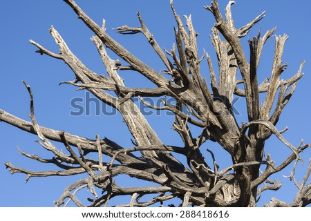Closeup of dead barren branches of deceased old tree in desert under clear blue sky - stock photo