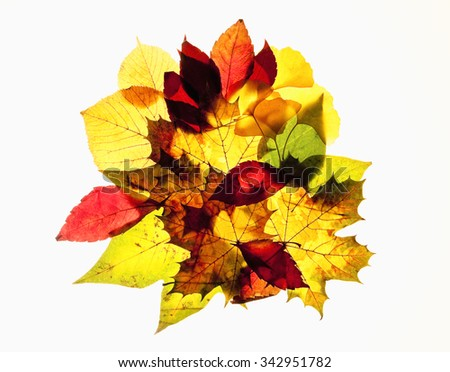 Closeup of Different Autumn Leaves - Isolated on White - stock photo