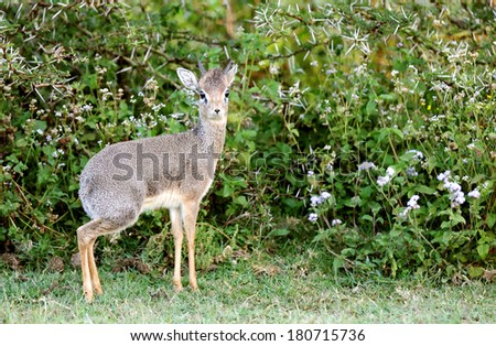 Closeup of Dik Dik antelope - stock photo