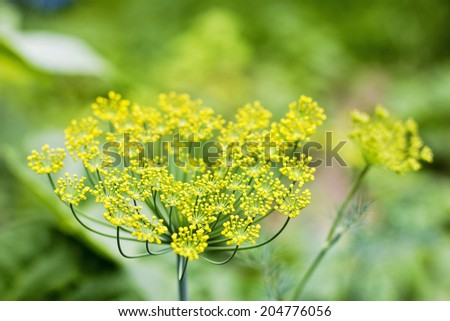 Closeup of dill growing in the garden - stock photo