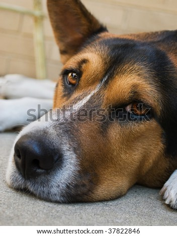 closeup of dog laying down with sad expression, looking into camera - stock photo