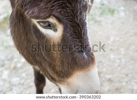 Closeup of donkey face, focus on eye