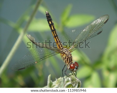 Closeup of Dragonfly - stock photo
