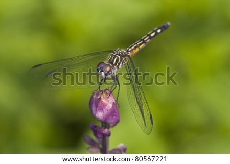 Closeup of dragonfly on a flower bud in Garden in Central Park, New York City - stock photo