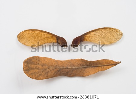 closeup of dry maple seeds on white background