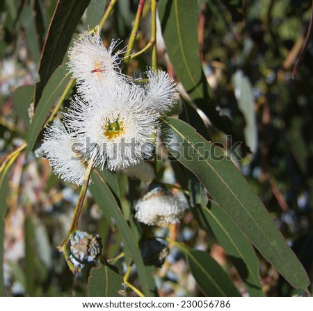 Closeup of Eucalyptus globulus with flowers and leaves - stock photo