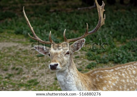 Closeup of Fallow Deer buck